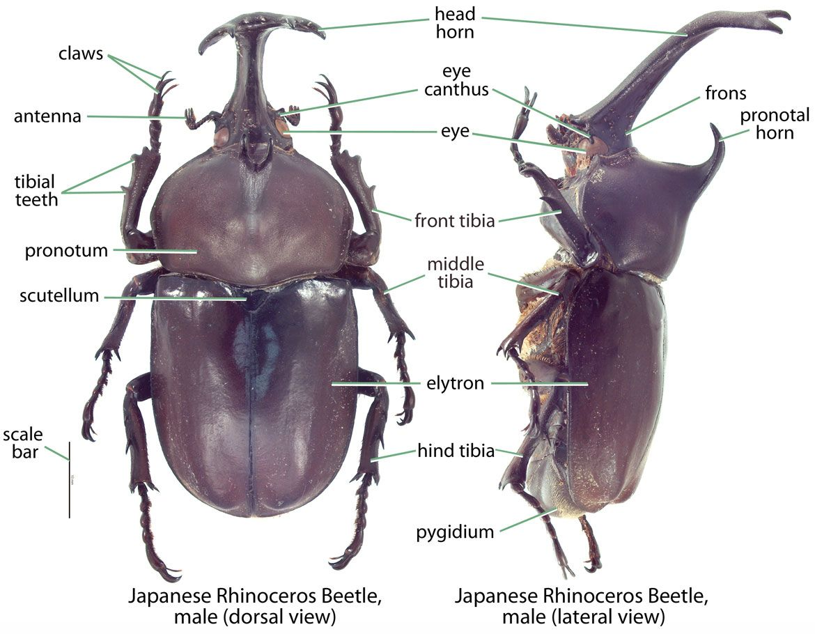 Image result for hercules beetle anatomy | Insects | Pinterest ...