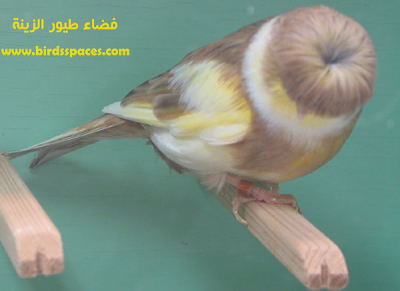 كناري الجلوستر Canary Birds Finches Bird Pet Birds