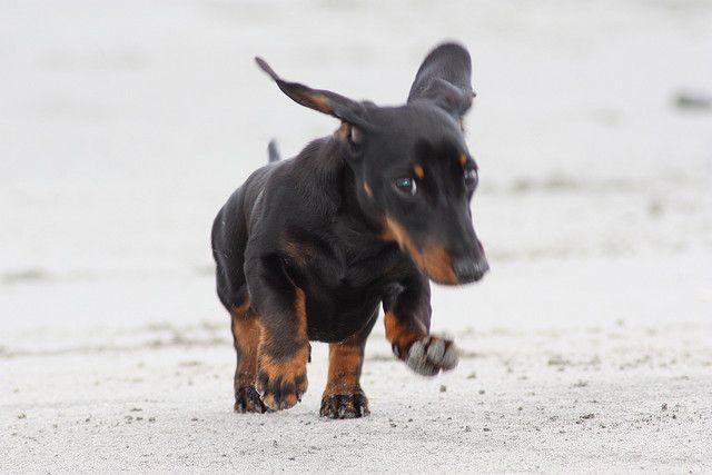 Adorable Miniature Dachshund Dachshund Love Weenie Dogs Dachshund