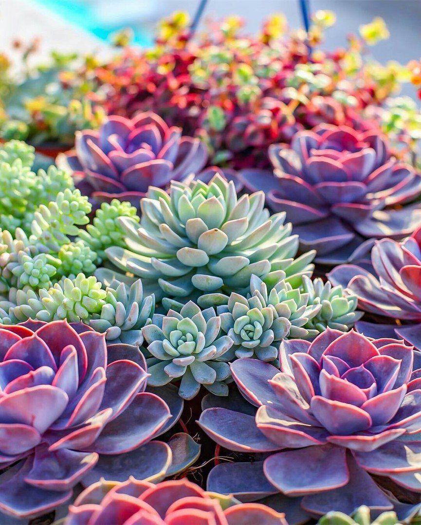 Новини Succulents, Colorful succulents, Succulent gardening