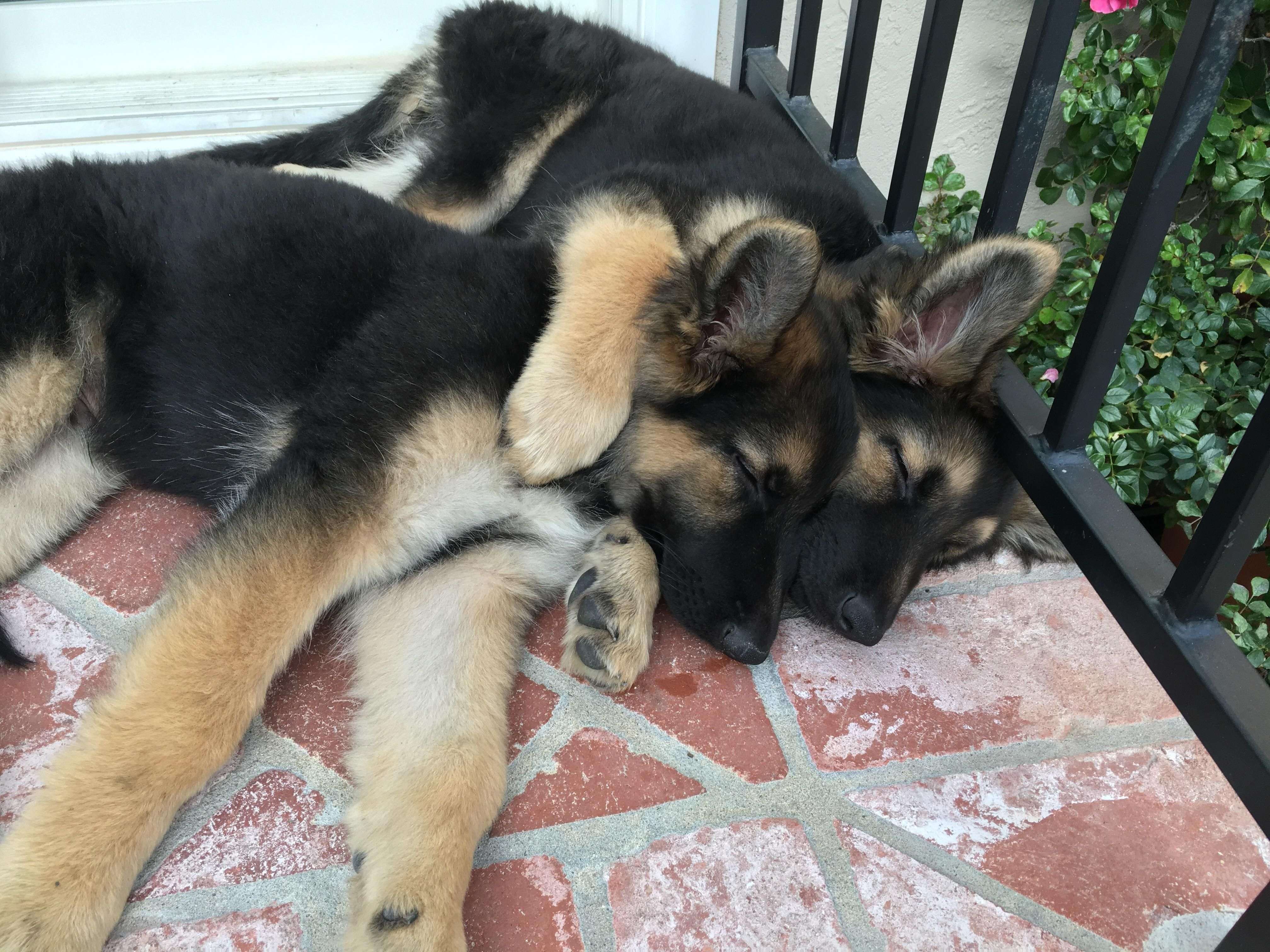 Pups Turned 6 Months Old Today Http Bit Ly 2tf0uce Gsd