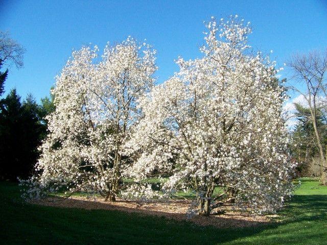 Magnolia X Loebneri 39 Merrill 39 Merrill Magnolia On