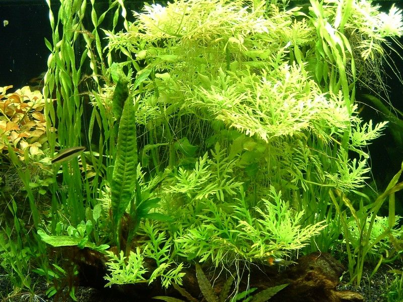 Water Wisteria Hygrophila Difformis Planted Aquarium Freshwater Aquarium Plants Aquatic Plants