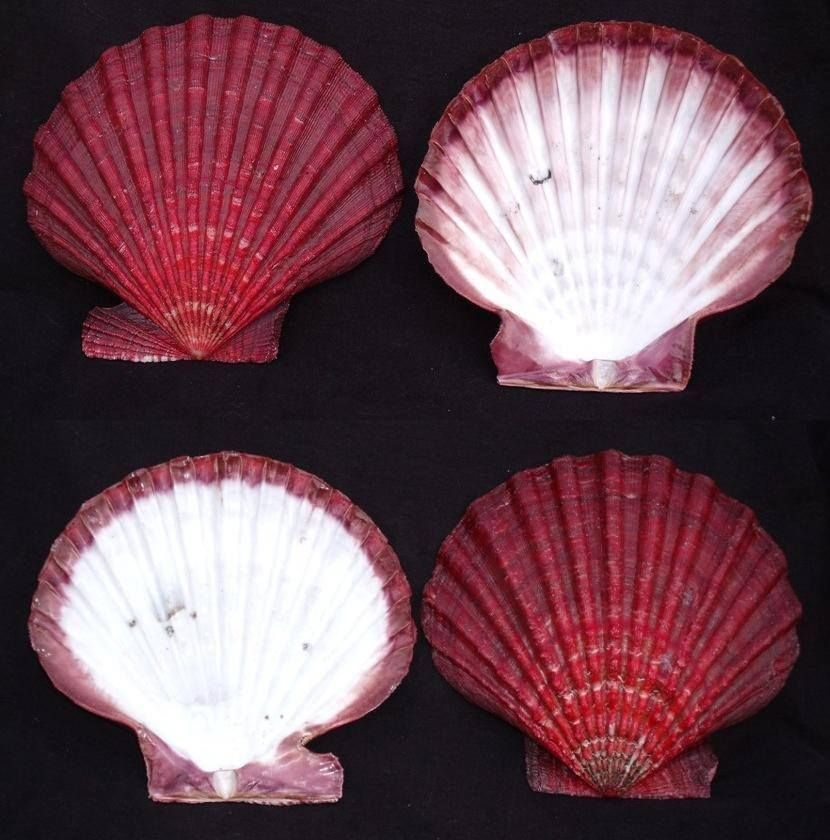 Andrew Swan    180mm Nodipecten magnificus. This thing is beautiful inside and out!