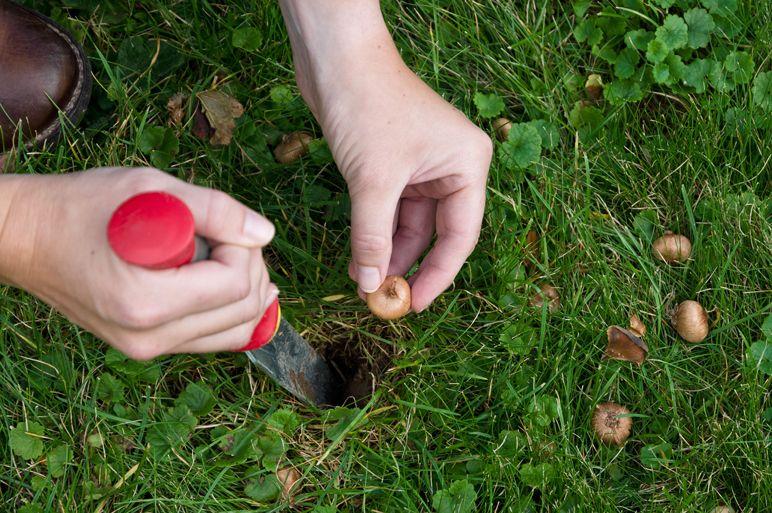 mein schoenes land bloggt krokuszwiebeln pflanzzeit herbst rasen, Garten und Bauten