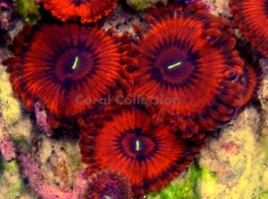Zoas And Palys