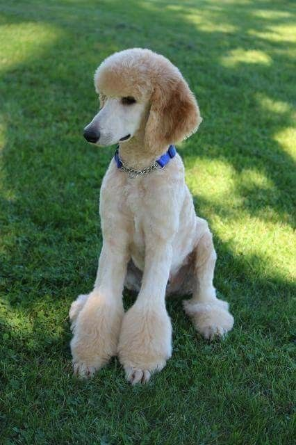 Pin On Poodle Grooming Hairstyles