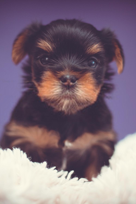 Pitbull Puppies For Sale Craigslist Ct