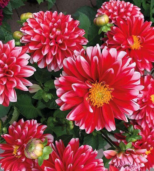 Dahlien blühen den ganzen Sommer.   Gartencenter, Pflanzen ...