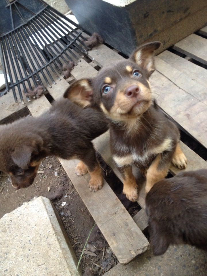 Australian Kelpies Australia Animals Cool Dog Beds Aussie Dogs