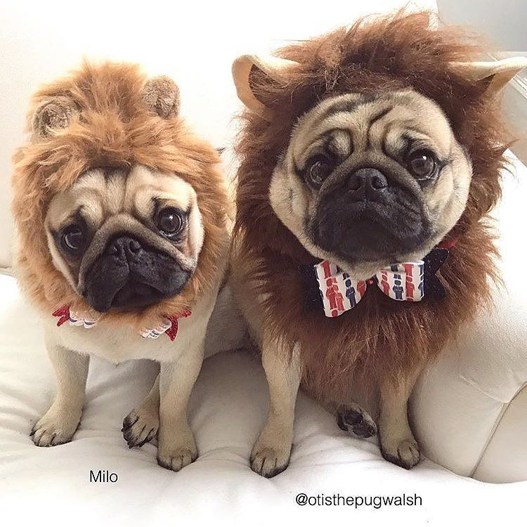 You Will Not Find Cuter Lions Than Milo And Otisthepugwalsh Want