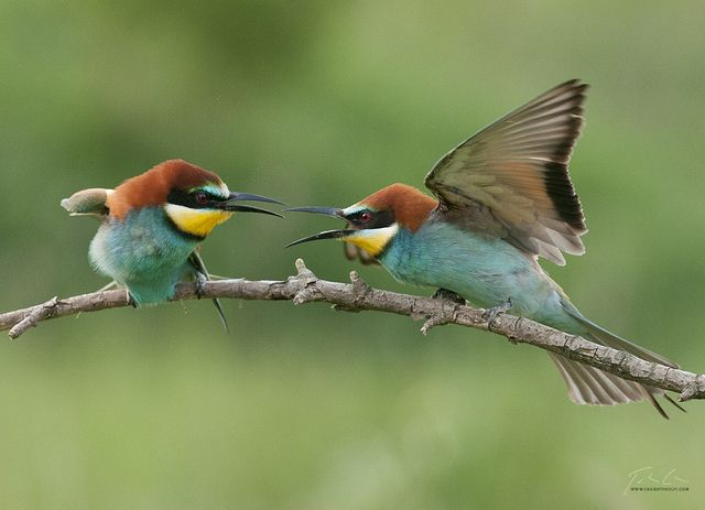 Disagreement by csabatokolyi on Flickr.        Bee eaters having a dispute (probably about matters concerning the length and coziness of the burrow to be created :)  via Flickr