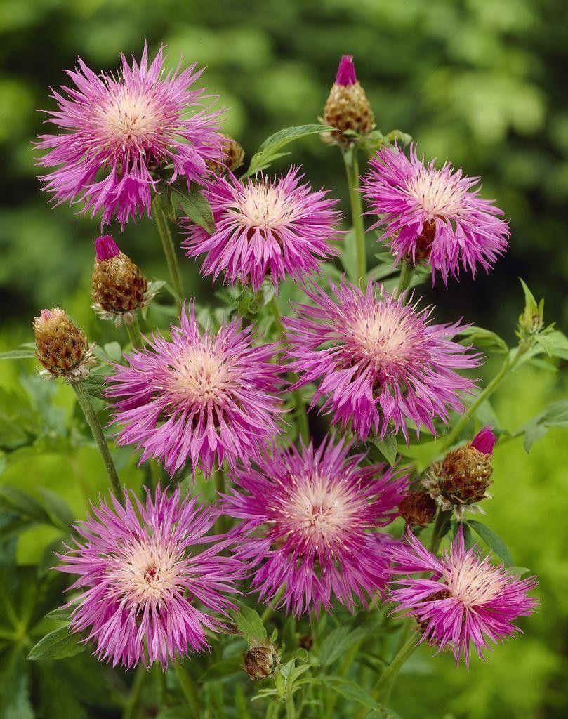 Centaurea Dealbata Pink perennials, Bulb flowers, Sun