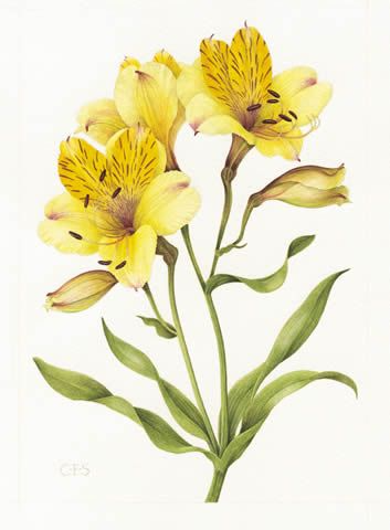 lily family Google Search in 2020 Botanical drawings