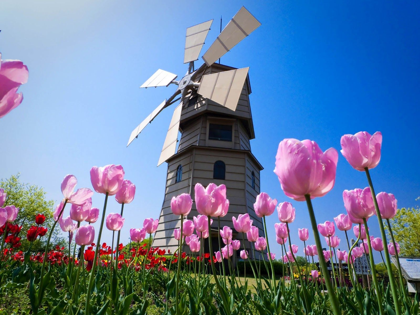 Dutch Windmill And Tulips Spring Wallpaper Flower Desktop Wallpaper Spring Flowers