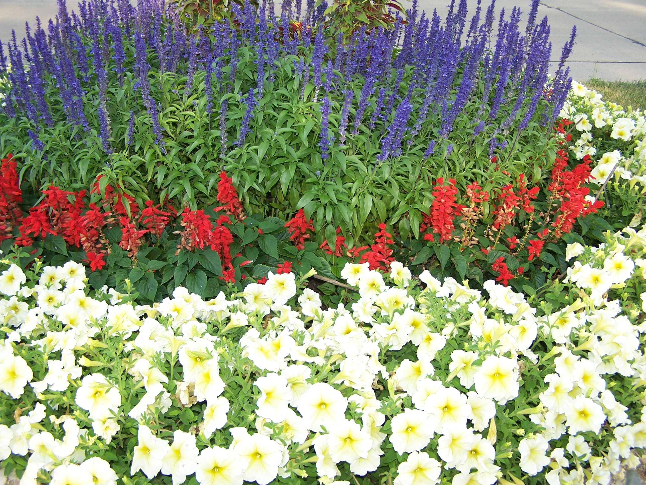 Flower bed around a tree with blue red salvia yellow petunia flower bed around a tree with blue red salvia yellow petunia izmirmasajfo