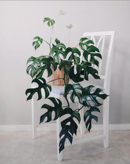 Mini Monstera Care Guide | Gorgeous Easy to Grow Plant | www.thatplantylife.com #houseplants #houseplantclub #houseplantcare #jungalowstyle #rhaphidophora #urbanjungle #urbanjunglebloggers #homedecorideas