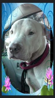 Athena is a 3 year old Pi/Bully Cross she has been wasting away in a local shelter since April, one of our team could stand it no longer and busted her out. She is a beautiful girl at 50lbs but needs to gain some weight. She is an Alpha but so far...