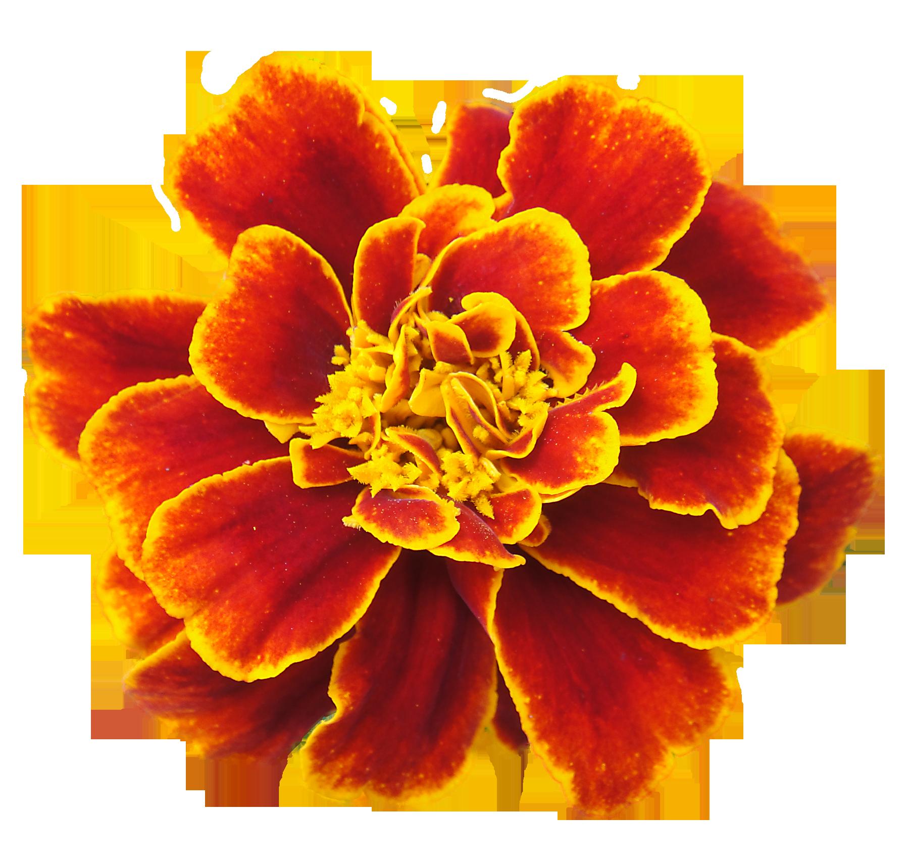 San Francisco Marigolds