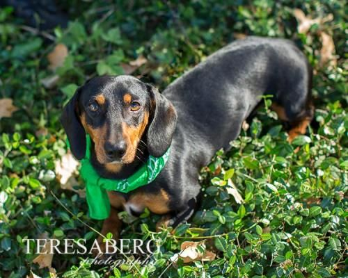Adopt Stewart On Adoptable Dachshund Dog Dogs Dachshund Rescue