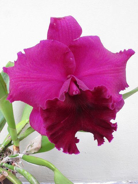 Rhyncattleanthe Guanmiau City 'Black Flower' - Flickr - Photo Sharing!