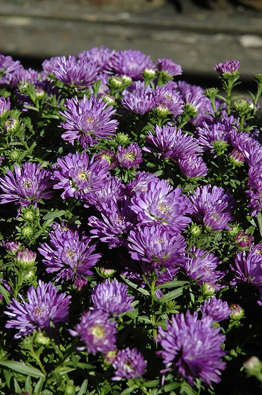 Blue Henry Aster Aster Blue Henry At Lakeshore Garden Centres Garden Center Amazing Flowers Herbaceous Perennials