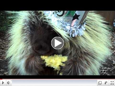 Happy New Year from Teddy the Porcupine!