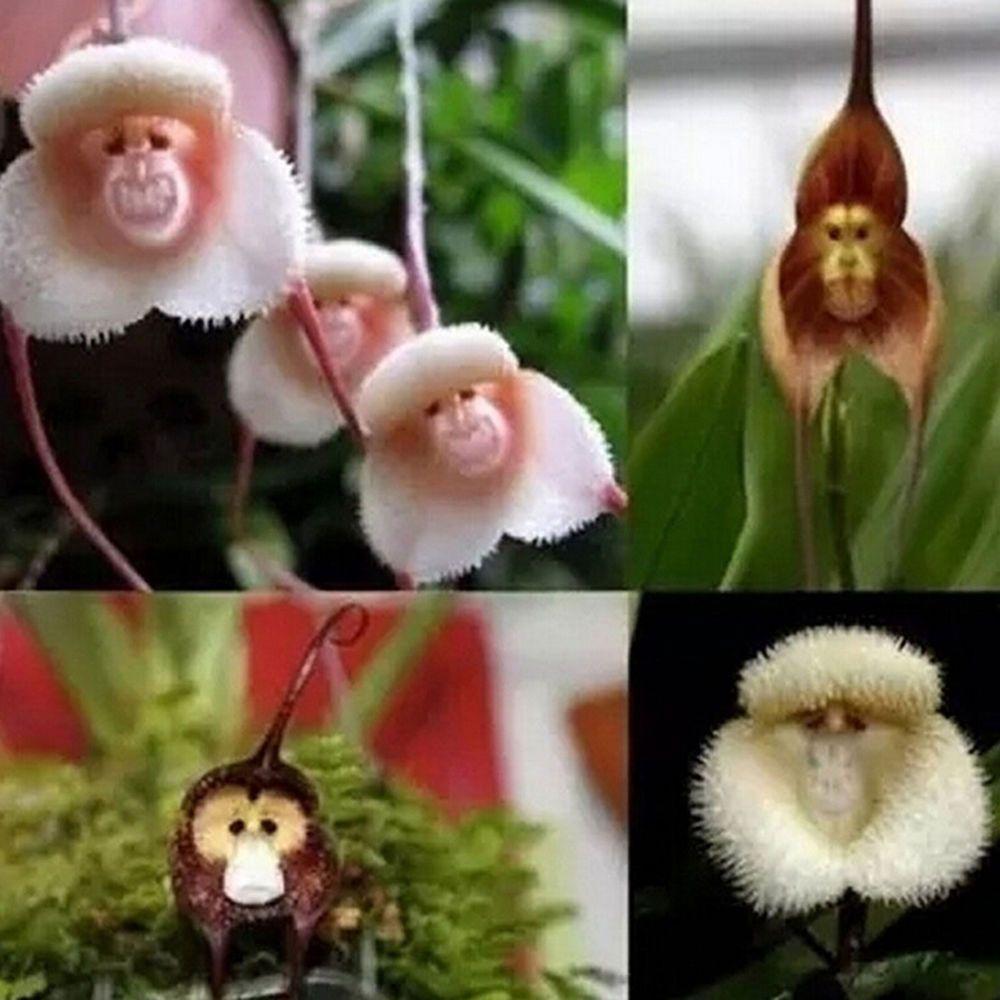 Pcs monkey face orchid flower seeds plant seed bonsai home garden