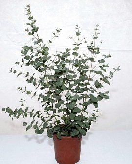 Pin By Hirt S Gardens On Eucalyptus Plants Eucalyptus Plant Indoor Plants Silver Dollar Plant