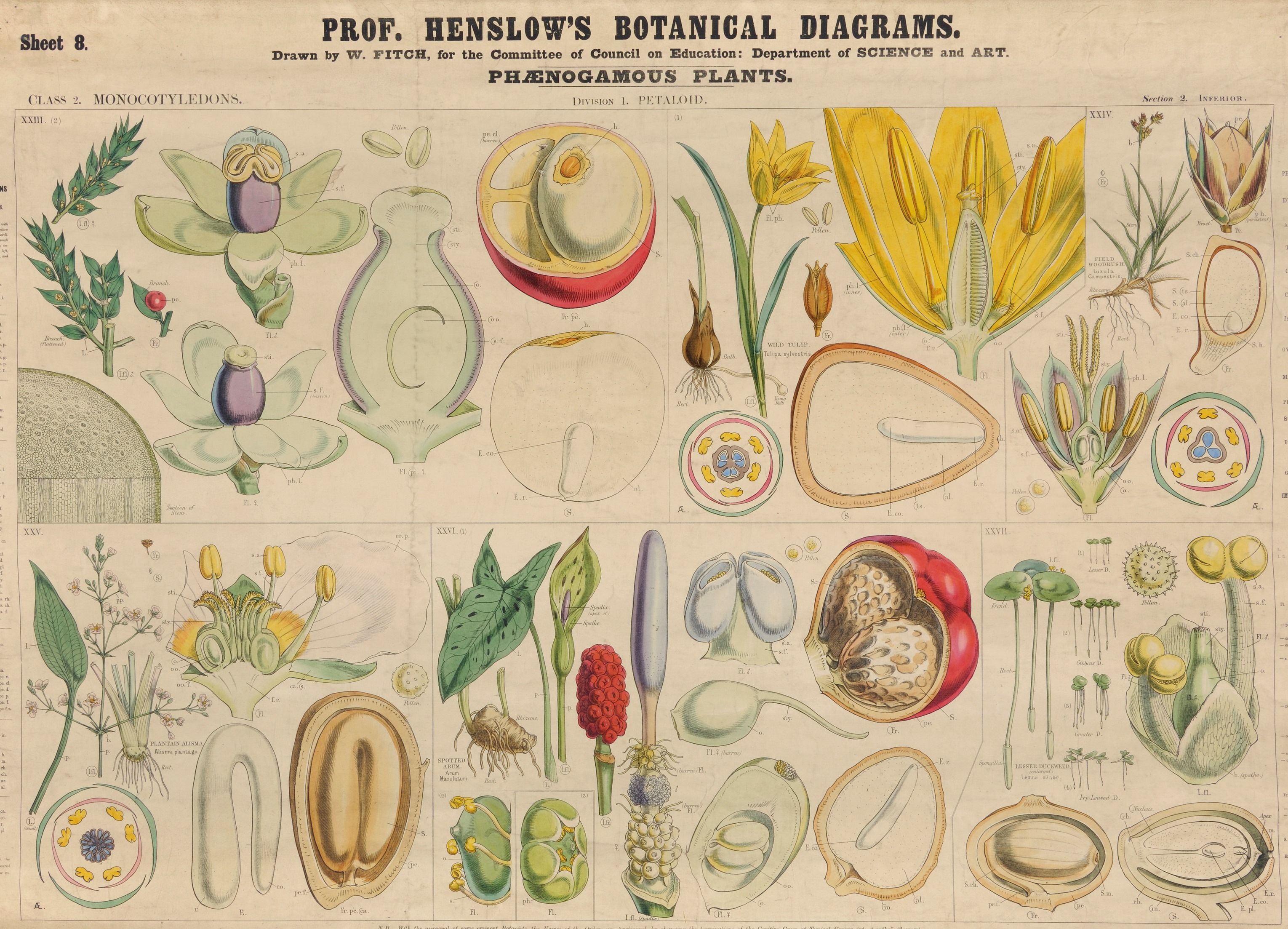 no 8 monocotyledons petaloid map illustrations no 8 chart design diagram botany [ 3059 x 2206 Pixel ]