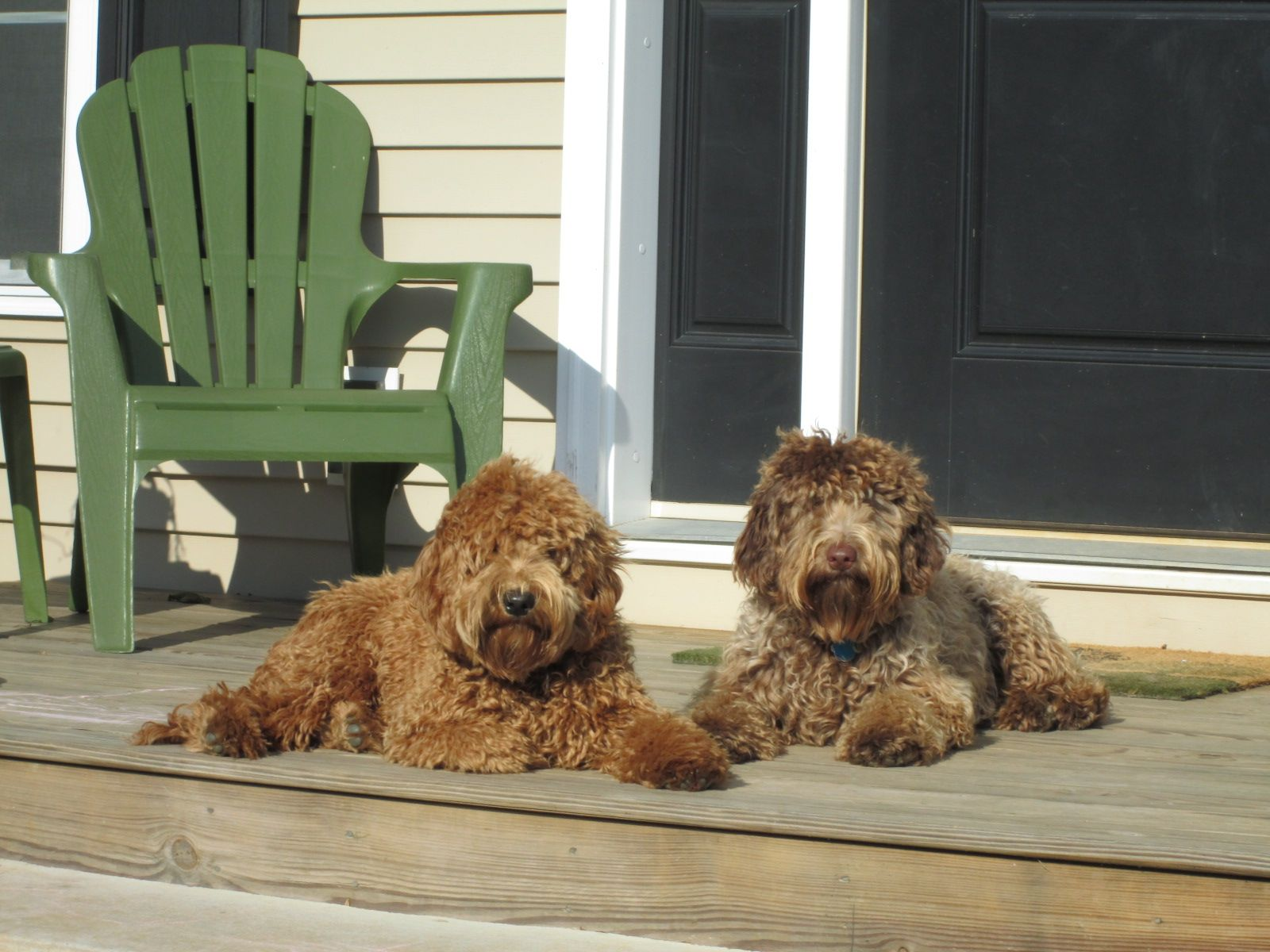 Home Sweet Home Labradoodle Dog Breeder Australian Labradoodle Puppies
