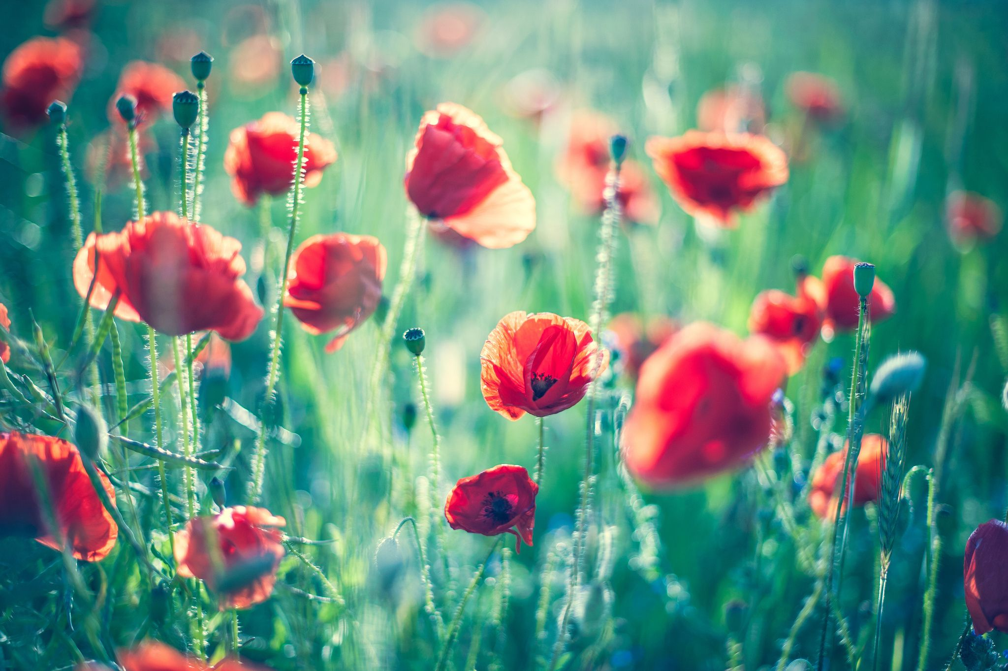 Field of poppies poppies pinterest poppies wallpaper and