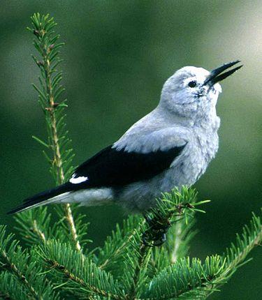 Nucifraga Columbiana Wikipedia La Enciclopedia Libre Aves De Compania Fotos De Animales Salvajes Pajaros De Colores