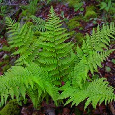 10 Leather Wood Fern Perennial NATIVE WOODLAND FERNS BARE ROOT