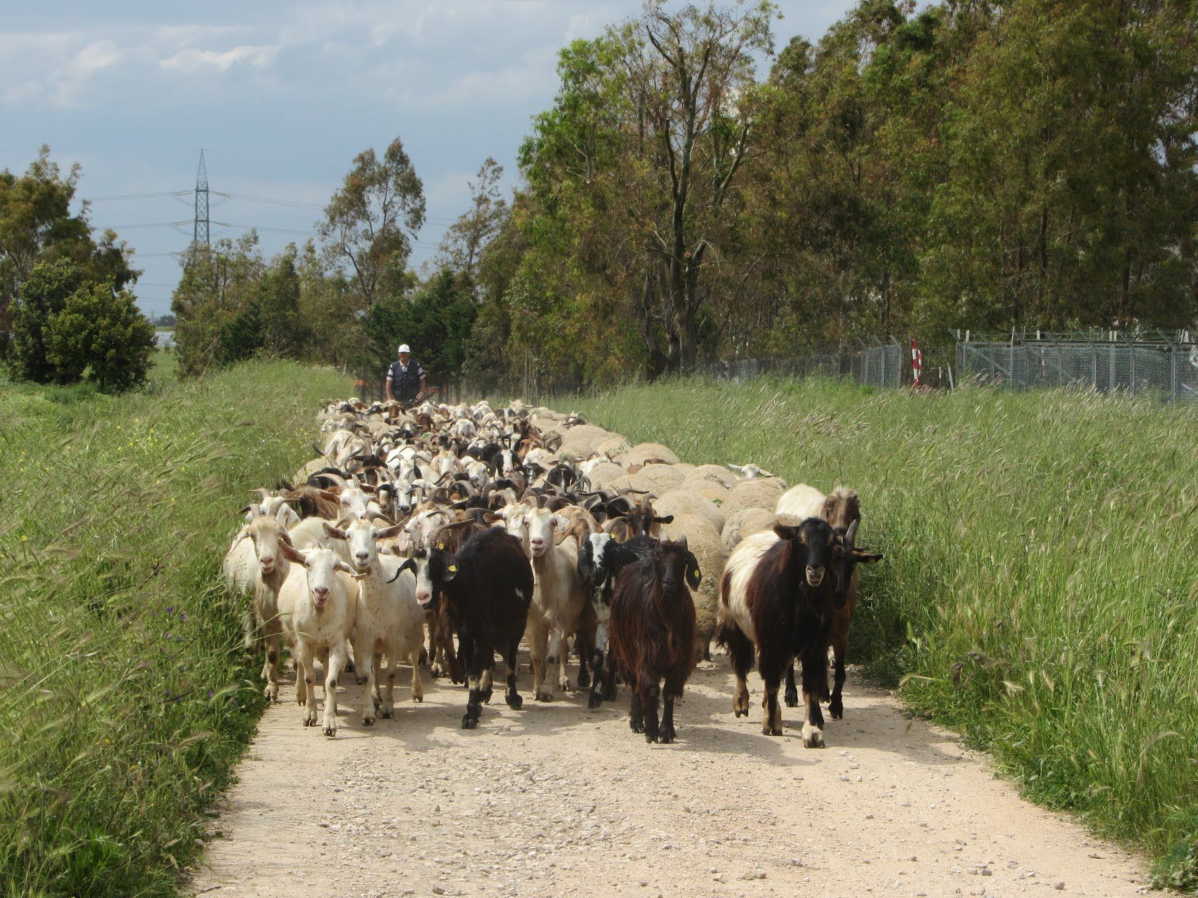 Rural traffic jam Happens quite frequently on this road Brindisi