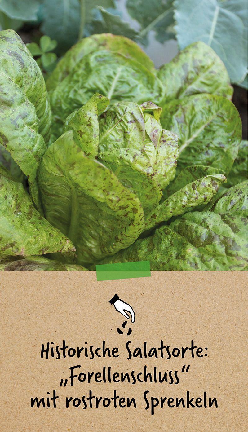 Historische Salatsorte Forellenschluss Mit Rostroten Sommersprossen Salat Bio Saatgut Forelle