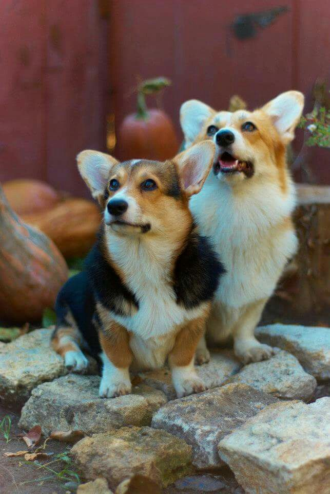 Dusya And Tasya From Russia Best Dog Breeds Corgi Welsh Corgi