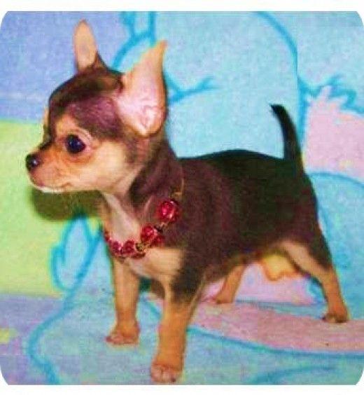 Chihuahua BABY LOVE Pinterest Chihuahuas, Cute
