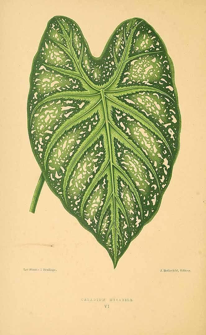 157997 Caladium bicolor (Aiton) Vent. [as Caladium mirabile Lemaire]  / Rothschild, J., Les plantes a feuillage coloré [original ed. E.J. Lowe and W.  Howard, Beautiful leaved plants (1861)], vol. 2: t. 6 (1870)