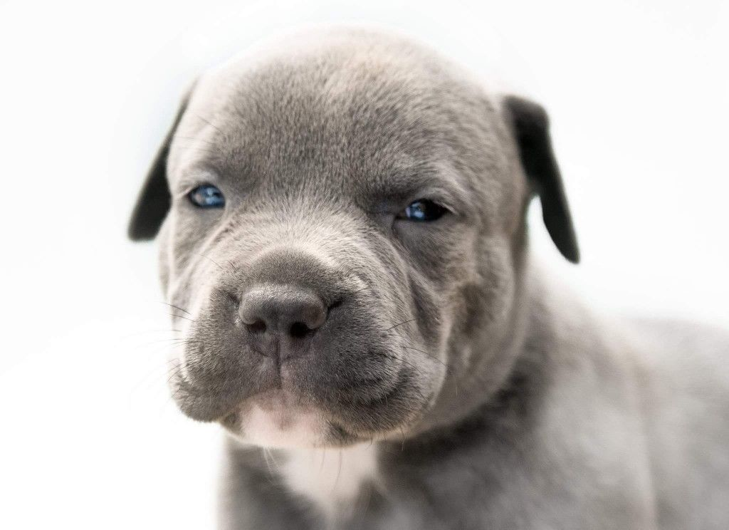 Xl American Bully Puppy Welpe In 2020 American Bully American Welpen