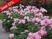 Knockout Rose Plants for Sale|Flowering Shrubs Blooms All Summer|Jumbo Pots|GreatGardenPlatns.com #knockoutrosen Knockout Rose Plants for Sale|Flowering Shrubs Blooms All Summer|Jumbo Pots|GreatGardenPlatns.com #knockoutrosen Knockout Rose Plants for Sale|Flowering Shrubs Blooms All Summer|Jumbo Pots|GreatGardenPlatns.com #knockoutrosen Knockout Rose Plants for Sale|Flowering Shrubs Blooms All Summer|Jumbo Pots|GreatGardenPlatns.com #knockoutrosen