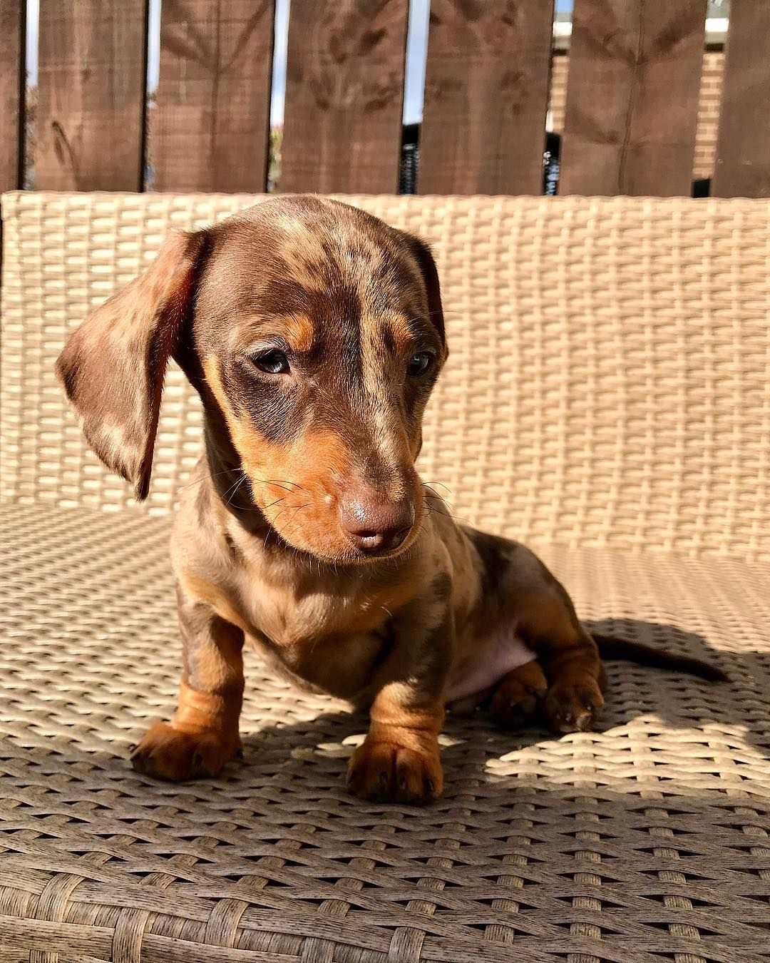 Dachshund Products Apparel And Gifts Dachshund Love Weenie