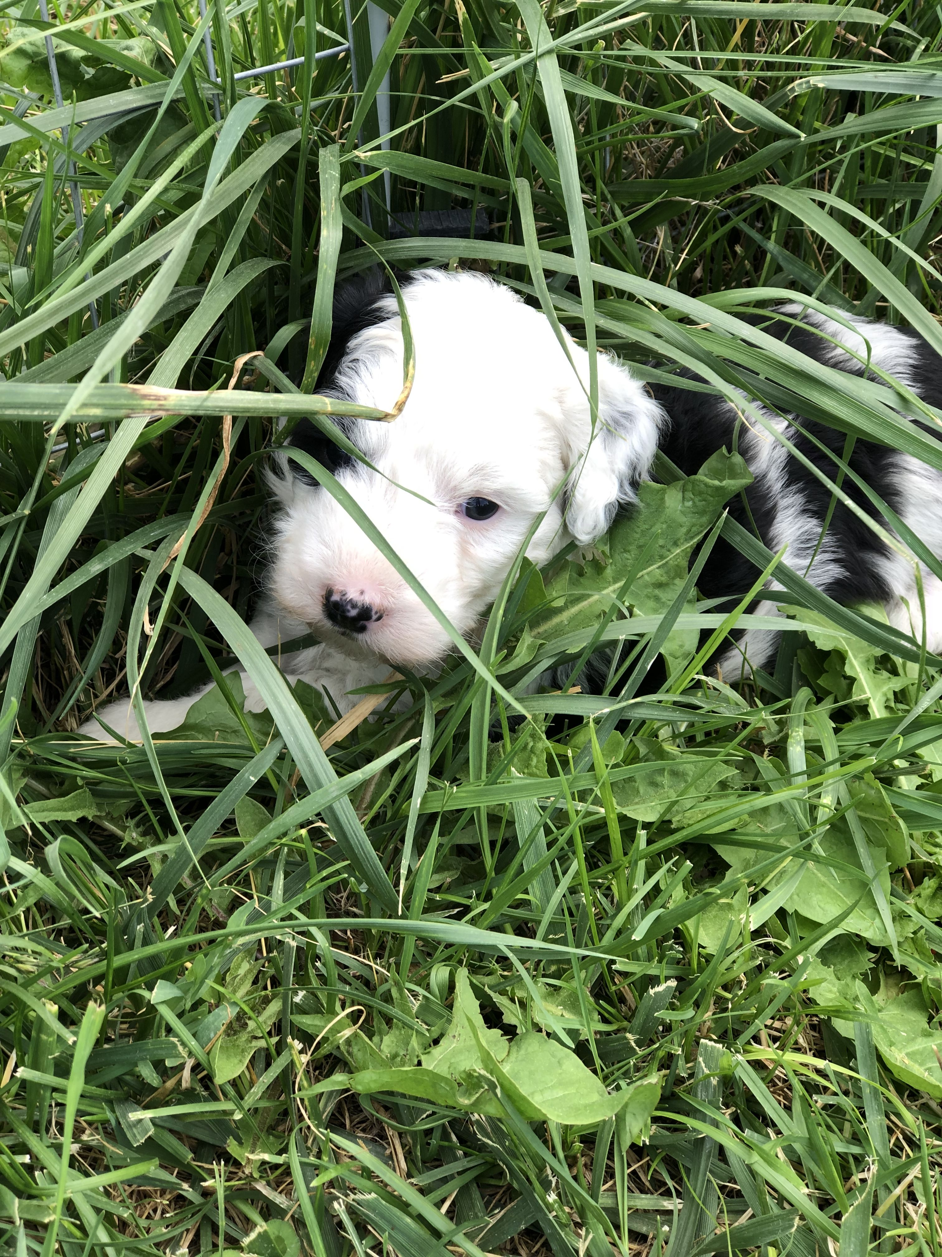 What is a Mini Sheepadoodle Puppy? Sheepadoodle puppy