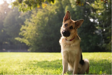 Why Do Dogs Tilt Their Heads? American Kennel Club