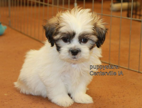 Breedersclub Net Puppies For Sale Teddy Bears Shichons