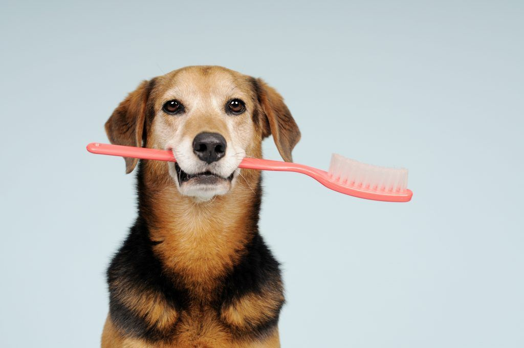 Hanford Veterinary Hospital What Happens In A Pet Dental Exam