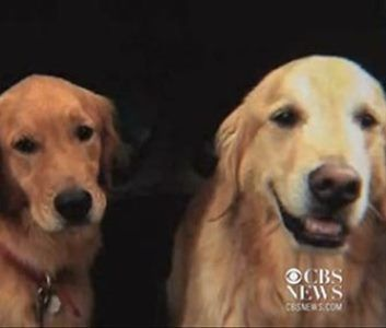 Heartwarming Pets Story This Golden Retriever Rescued His Own