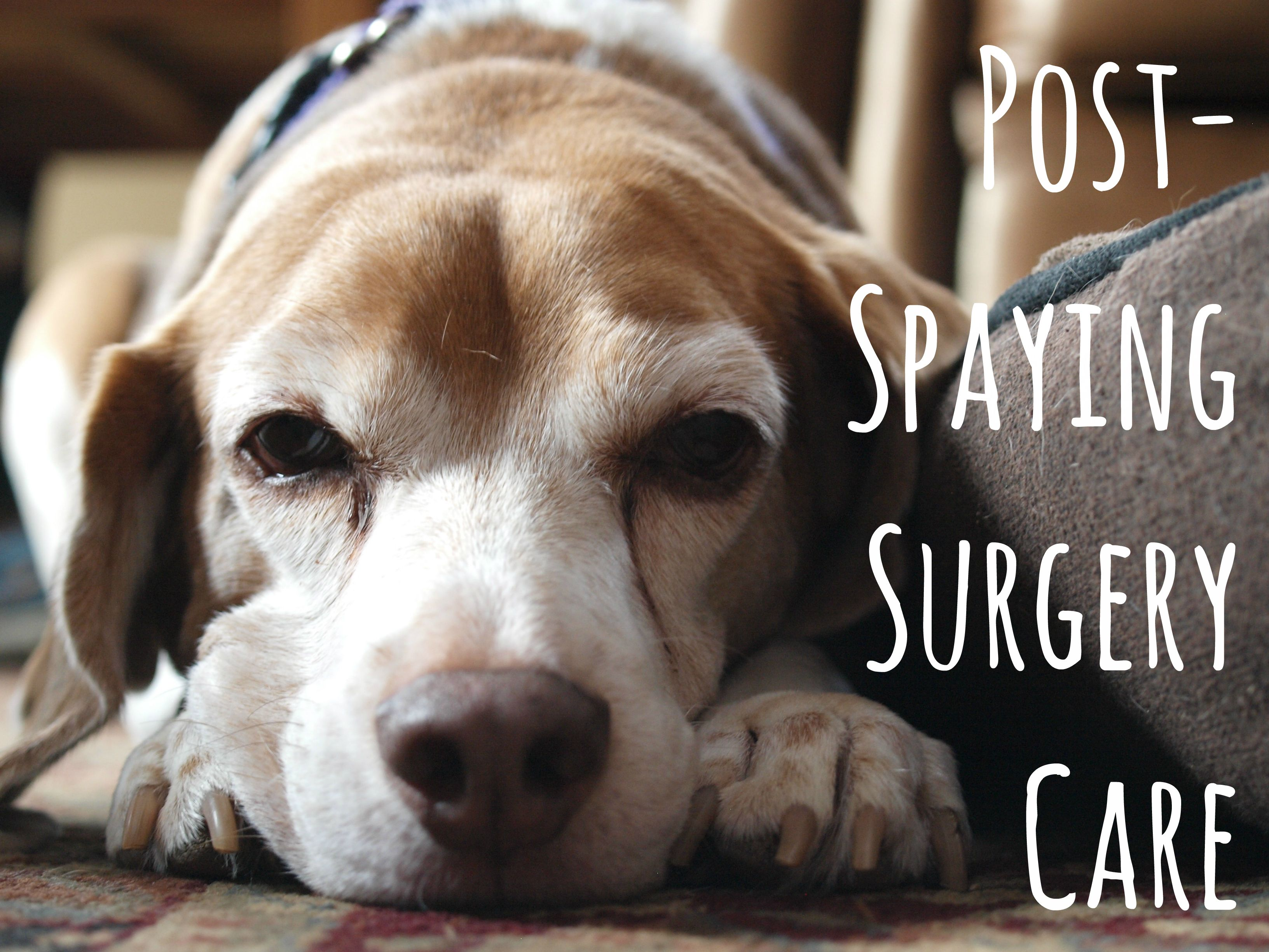 How To Care For Dogs After Spaying Surgery Neutering Dogs Dog Spay Recovery Big Dog Care