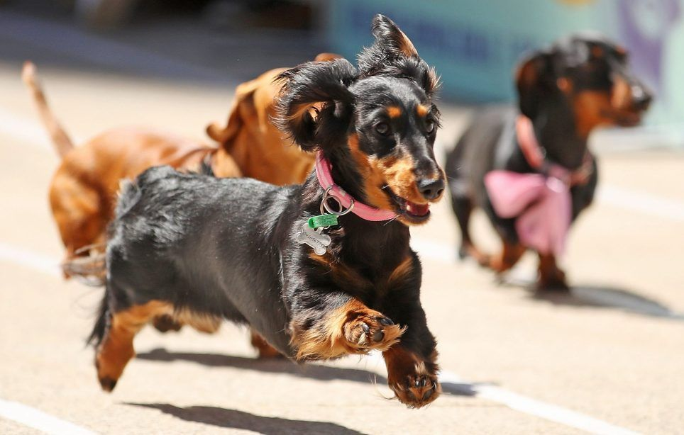 Melbourne Australia October 13 Dachshunds Run As They Compete