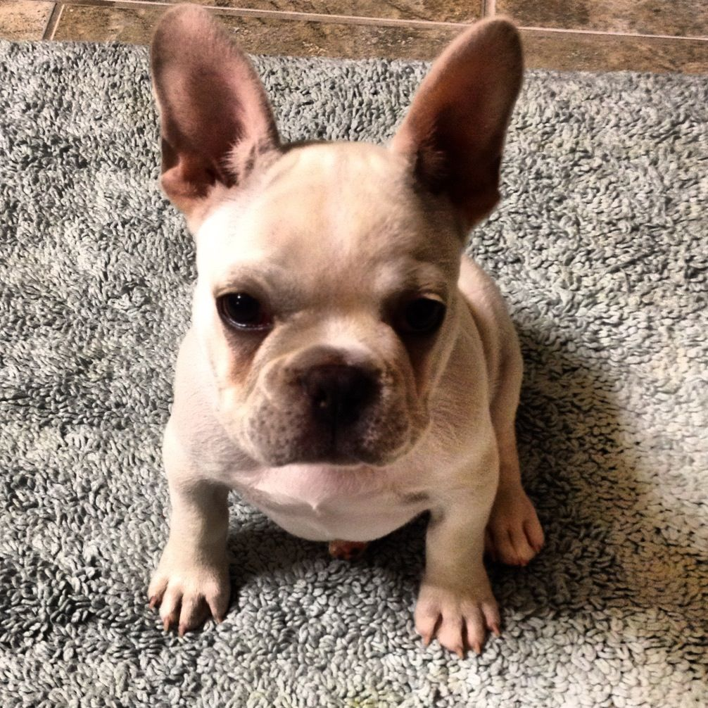 Frenchie Puppy Strikes The Perfect Pose Bulldog Puppies Frenchie Puppy French Bulldog Puppy